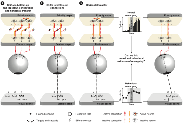 Pre-saccadic mechanisms linking neural and behavioral evidence of remapping.